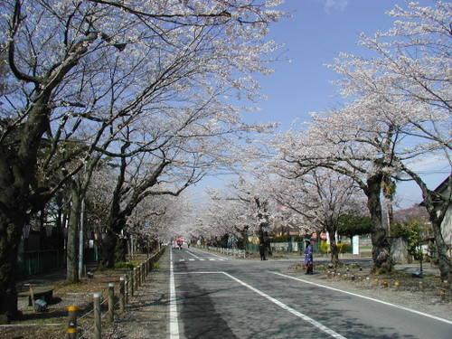 夜ノ森公園前並木 福島県富岡町 固定リンク   夜ノ森公園前並木